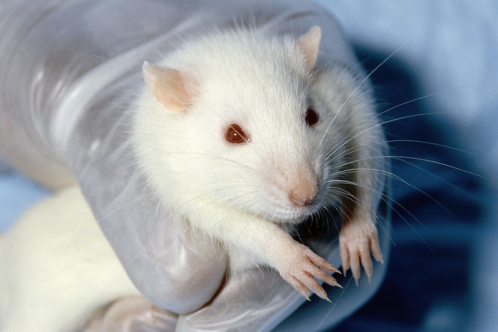 Addiction Studies often involve laboratory animals